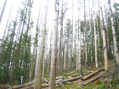 Spruce picea abies killed by bark beetle small